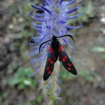 Zygène ; joli insecte montagnard au nom intéressant pour les amateurs de scrabble !
