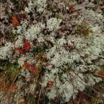 Myrtilles perdues au milieu du lichen