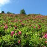 Champs de Rhododendron au début de l'été